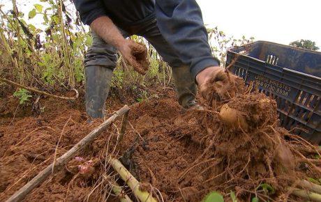 Produtores apostam no cultivo de batata yacon em Piedade e Região